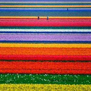 La fioritura dei tulipani, Olanda - Credit: Allard Schager