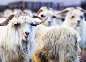 Il cashmere è da poveri (d'animo): la PETA diffonde un video sui maltrattamenti