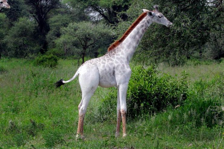 Kenya, morte due giraffe bianche: bracconieri ammazzano mamma e cucciolo